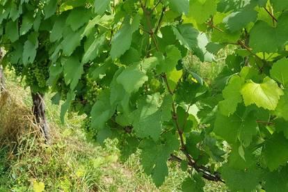 3ha Weingarten zu verpachten! Beste Süd- und Westhanglage