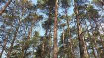 60-80 Jahre alter Kiefernwald im