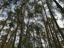 28145 m² Wald mit Kiefern