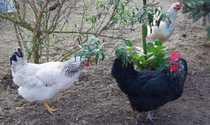 Bauernhaus mit Hühnerstall und großem