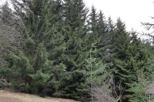 Waldfläche zwischen Weitersfelden und Kaltenberg