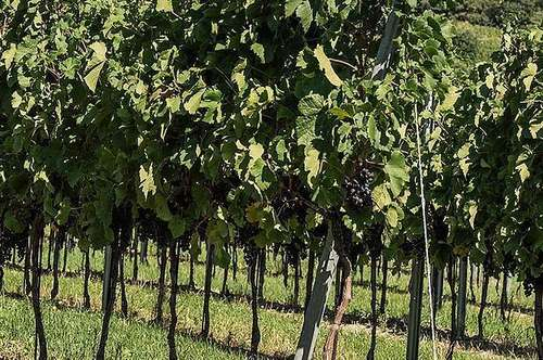 !!! 11,44ha großes Weingut mit exklusivem Heurigenbetrieb, ca. 20km südlich von Wien