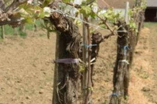 3743 Röschitz: In vino veritas (Reserviert!)