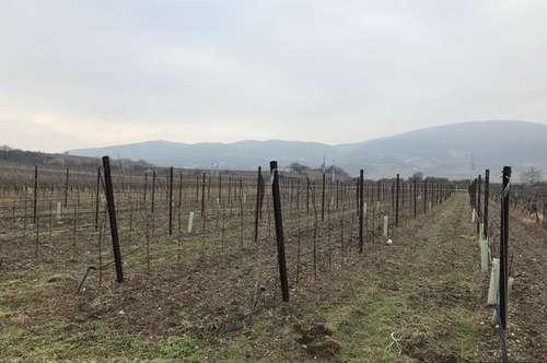 Herrliche Weingartenflächen Traiskirchen und Pfaffstätten