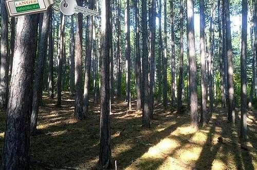 KEIN BAULAND - Leicht hügeliges Waldgrundstück mit Schwarzkiefernbestand!!!