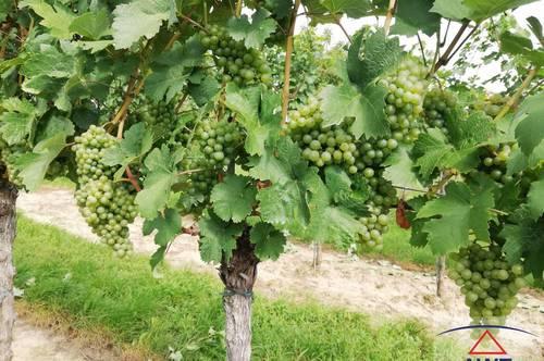 Grüner Veltliner - Weingarten mit Keller!